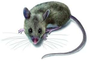 how we may get hantavirus